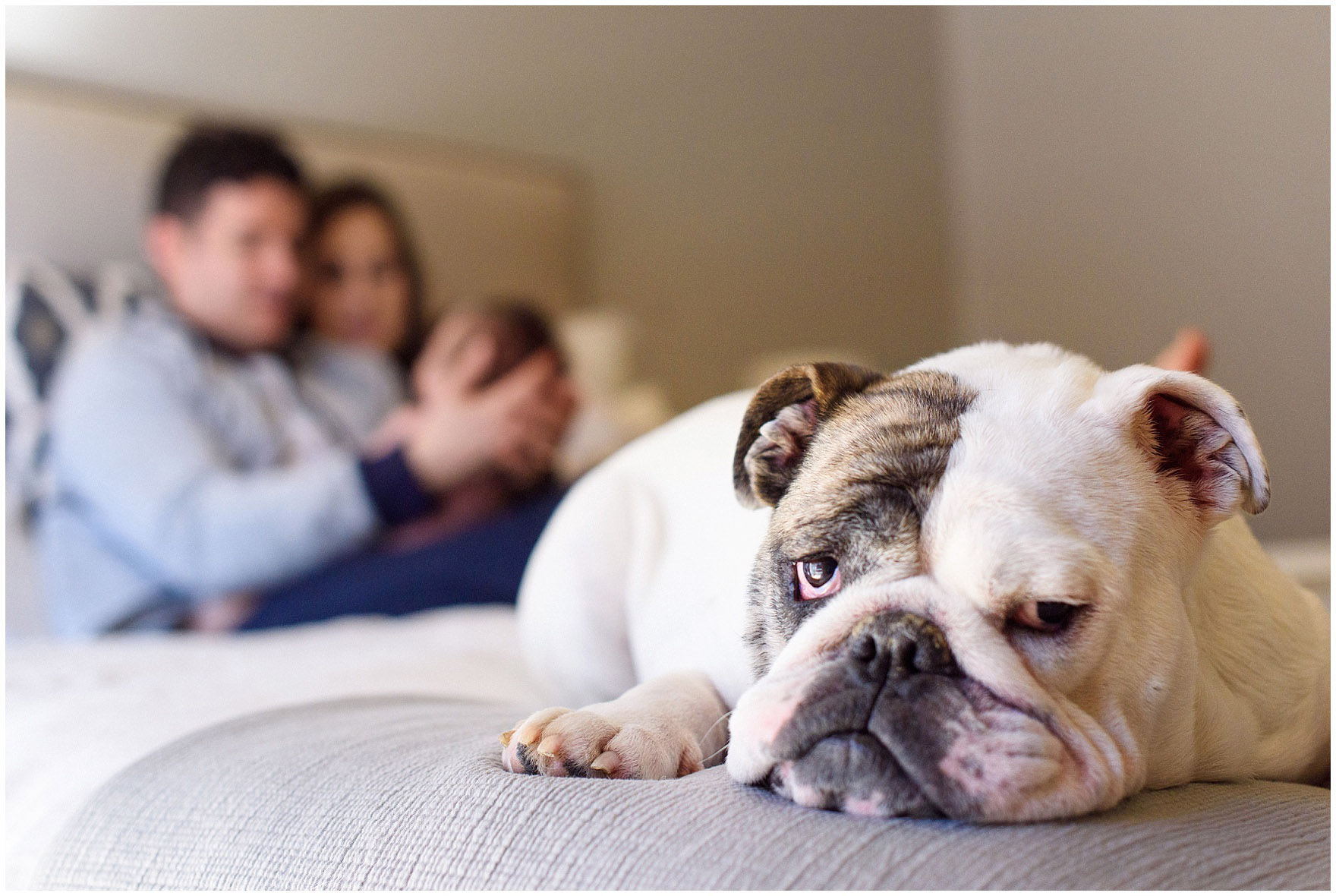 The family pet bulldog is bored during during a Chicago newborn baby photography session.